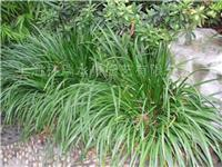 水生植物·石菖蒲